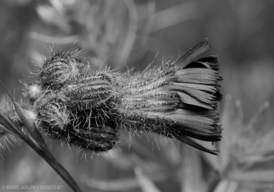A reddish-orange weed flower viewed horizontally. The base of the blossom is covered  with fuzzy purple-tinged buds. (Black and white version)