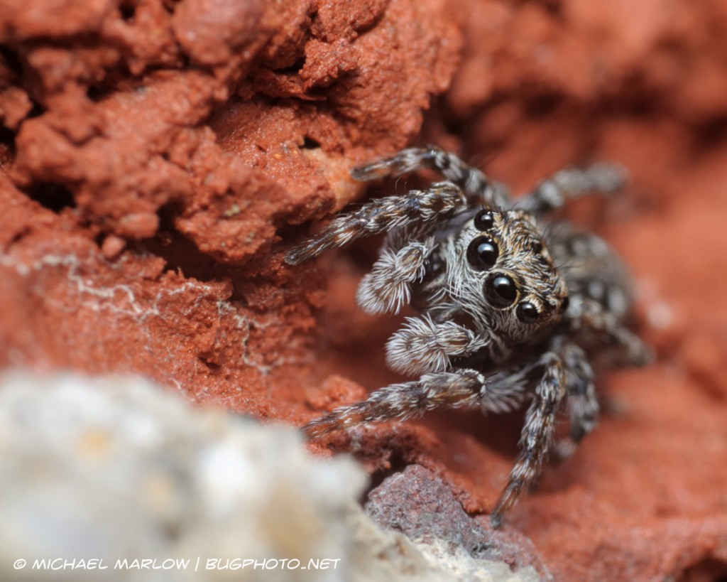 big eyes of a small jumping spider nestled in the crevice of a brick