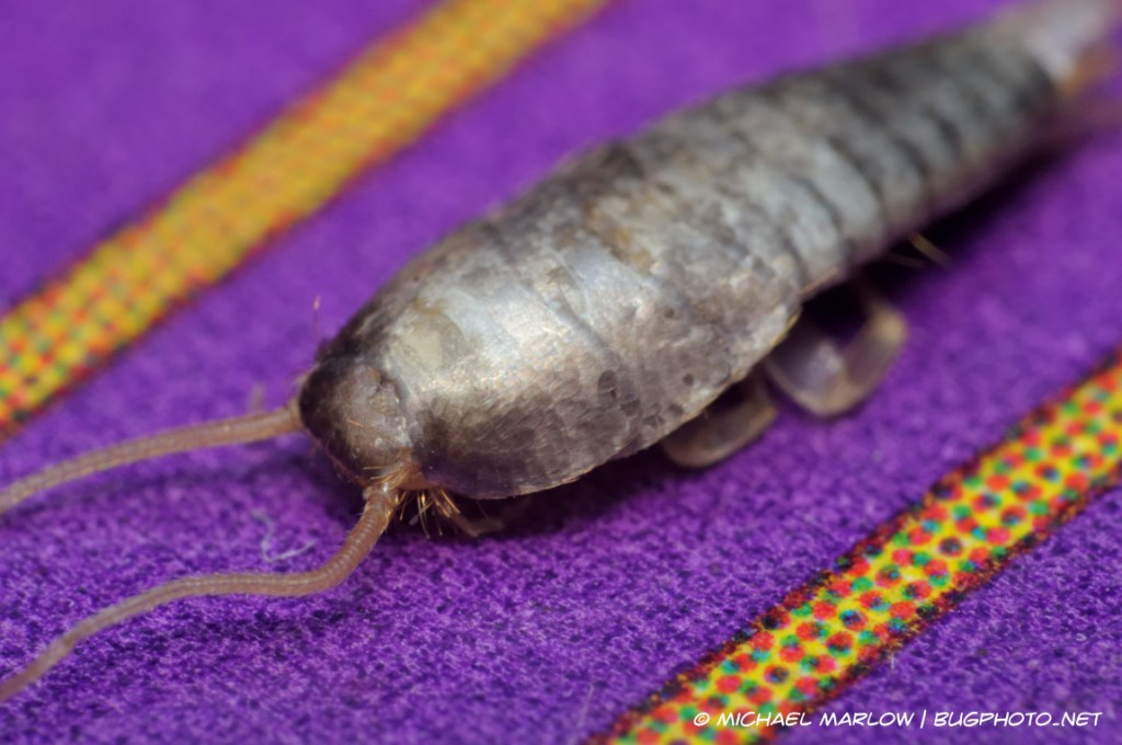 scaly head of a silverfish on a purple (with dotted, yellow stripes) card