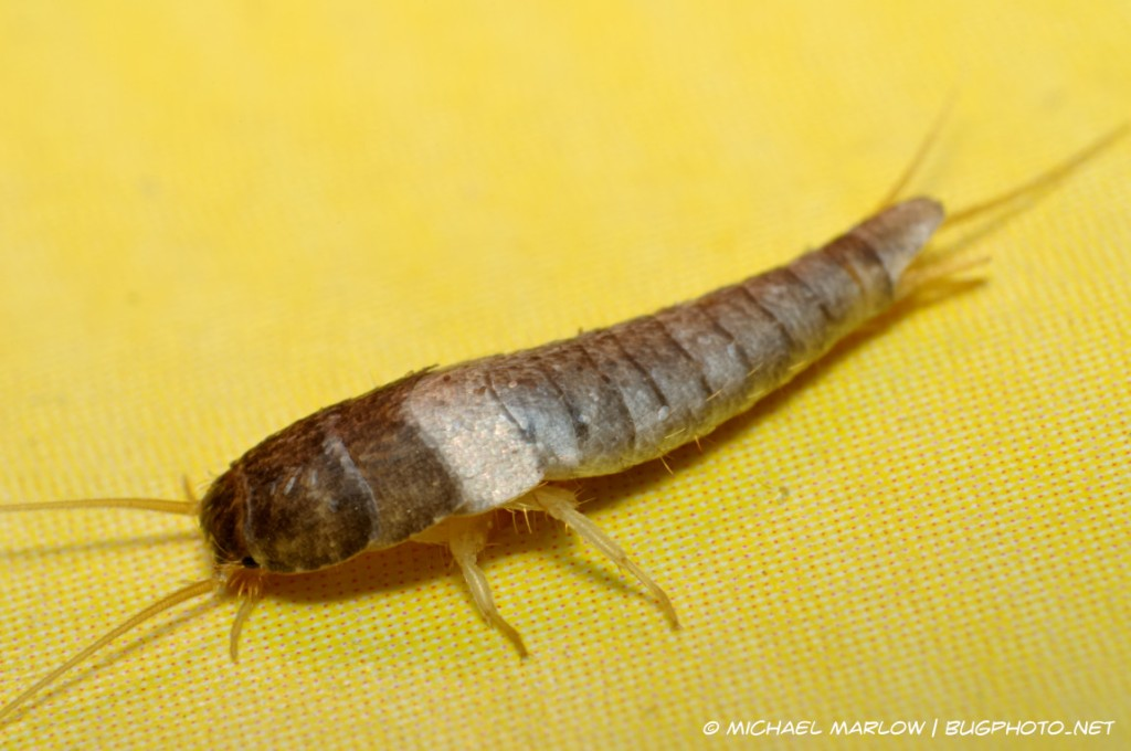 full body view of a silverfish on a red-dotted, yellow card