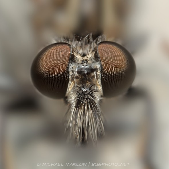 robber fly head with dark brown compound eyes and salt and pepper mystax