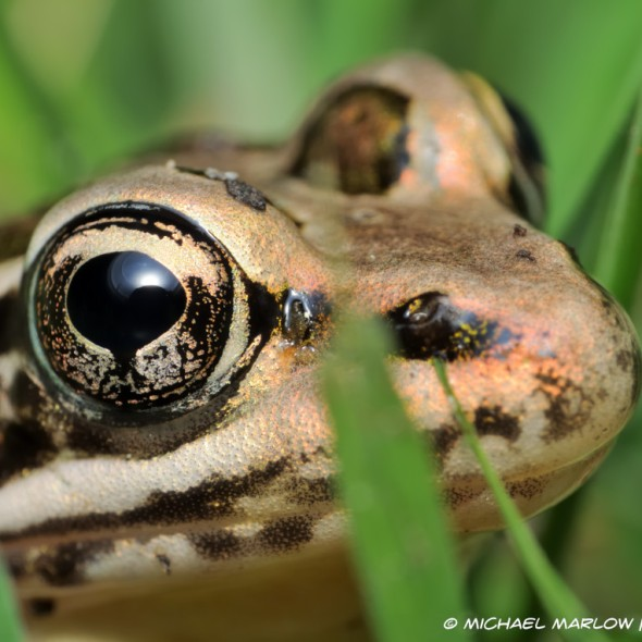 close up of frog's eye with flash reflection in large black pupil