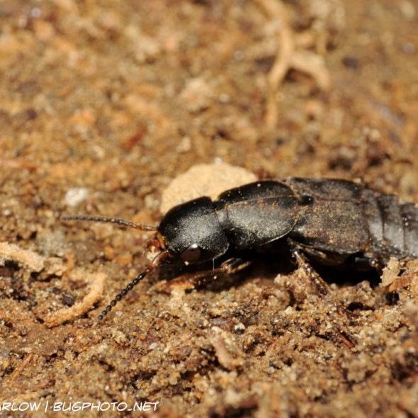 a mostly black rove beetle in dirt and debris