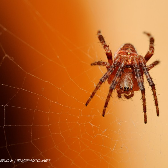 orbweaver spider with brown and orange coloration, forelegs pulled up, resting on circular web