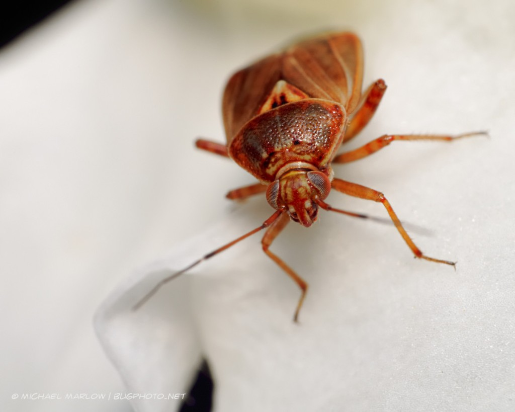 brown and reddish brown insect on a white petal