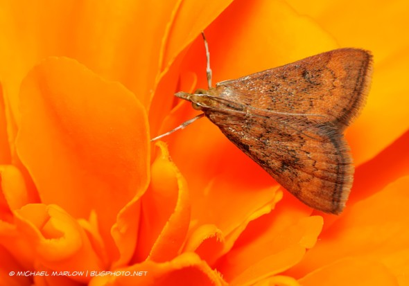 small moth with forelegs spread out to balance on bright orange petals
