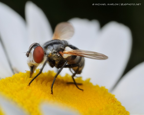 grey fly with big red eye drinking from white-petaled yellow-centered flower