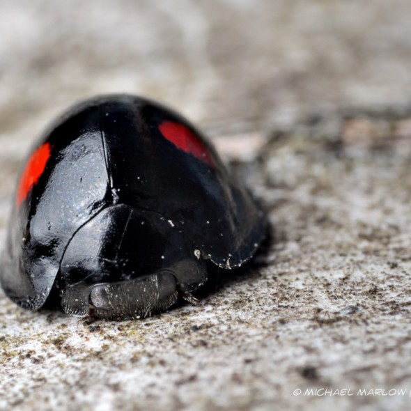 frontal view of black helmet-shaped beetle with two bright red spots