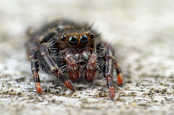 hairy jumping spider with big orange-ringed eyes and orange-red tipped legs on an otherwice warm body.