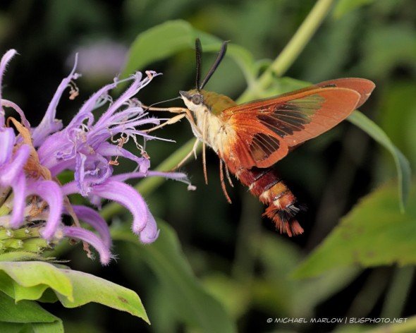 hummingbird mimic moth half-hovering half-standing on purple flower while feeding