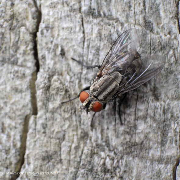 bright red-eyed fly on weathered wood with a prominent crack on either side