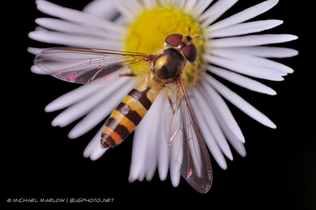 bee mimic hover fly on thin petaled flower with yellow center