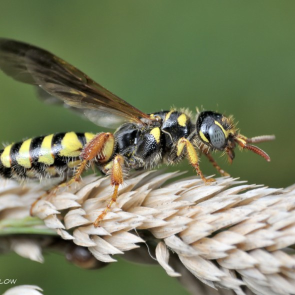 black and yellow wasp with short red antennae on spikelets