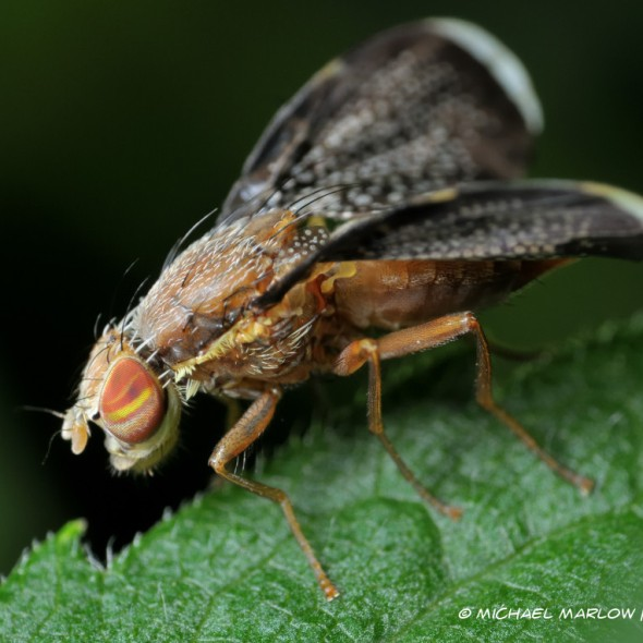fly on leaf up close:red eye with yellow stripe and black wings specked with white spots