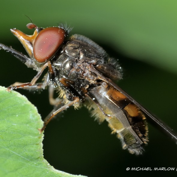 fly with foreward pointing snout and proboscio resting on edge of leaf