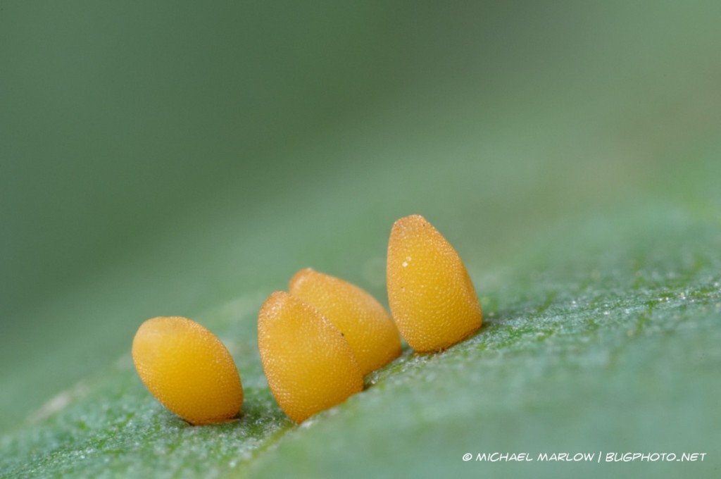 small yellow eggs with pebbled surface attached to leaf substrate