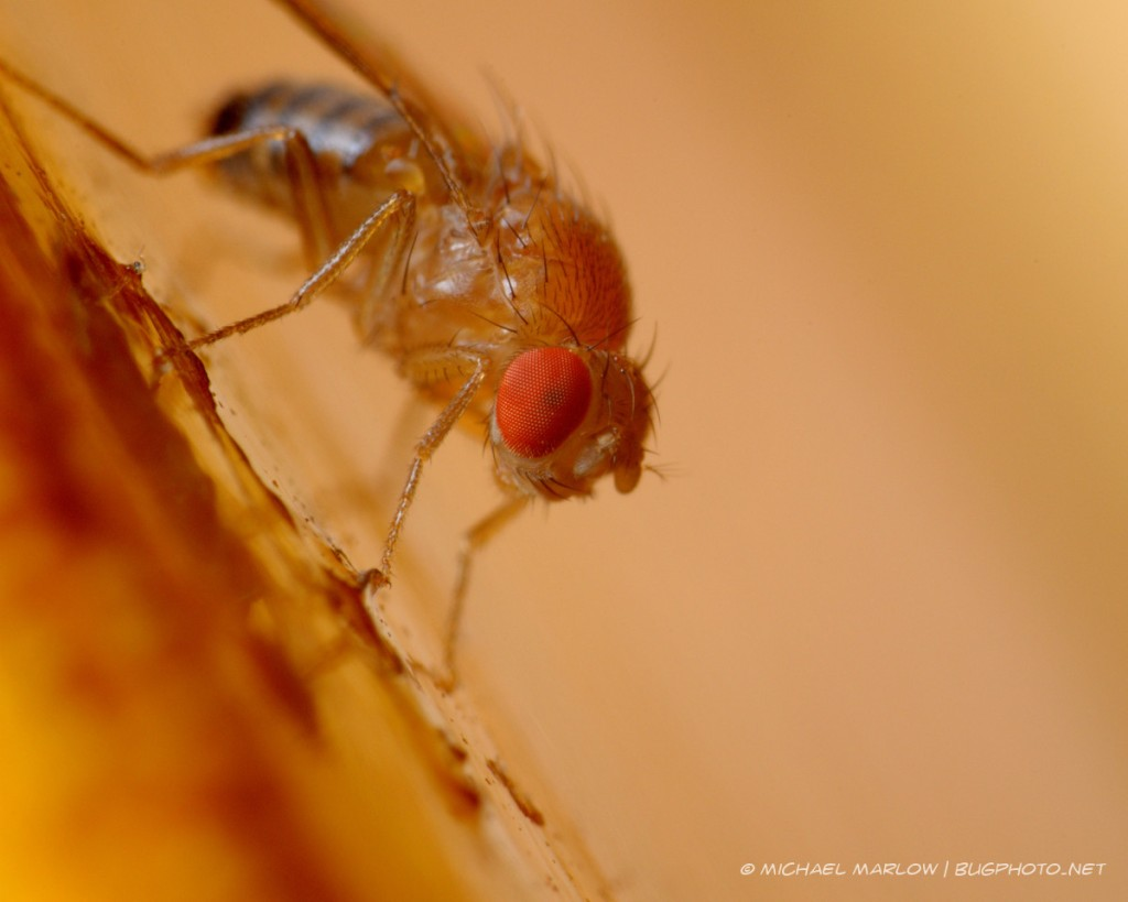vinegar fly at rest with prominent view of red compound eye