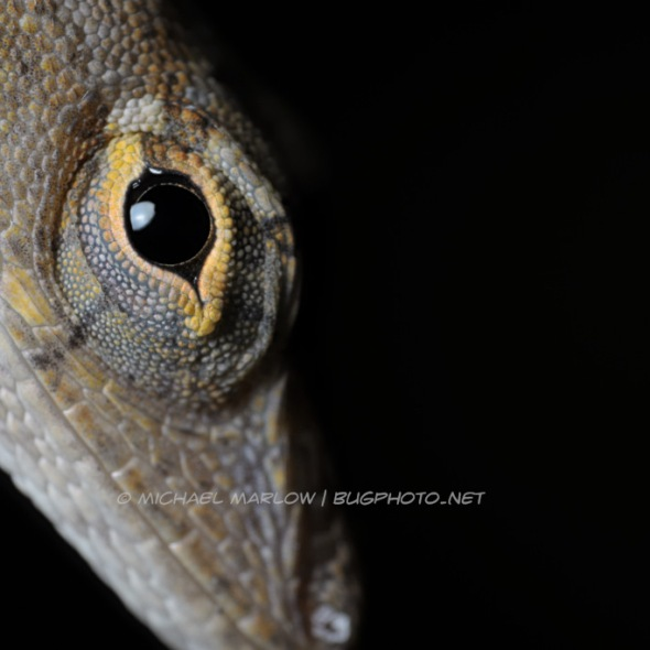 yellow-rimmed eye of brown anole lizard