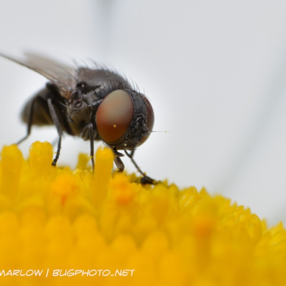 small fly with large head and eyes feeding on a daisy