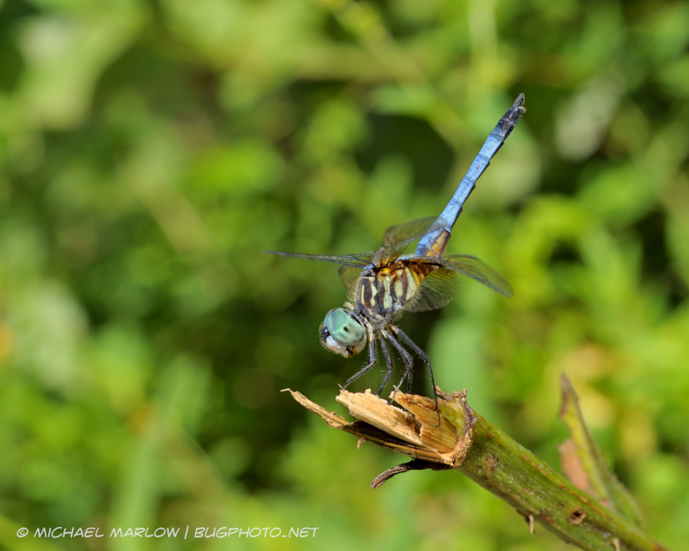 dragonfly with green eyes and blue abdomen with black tip pointe upwards at end of broken stalk