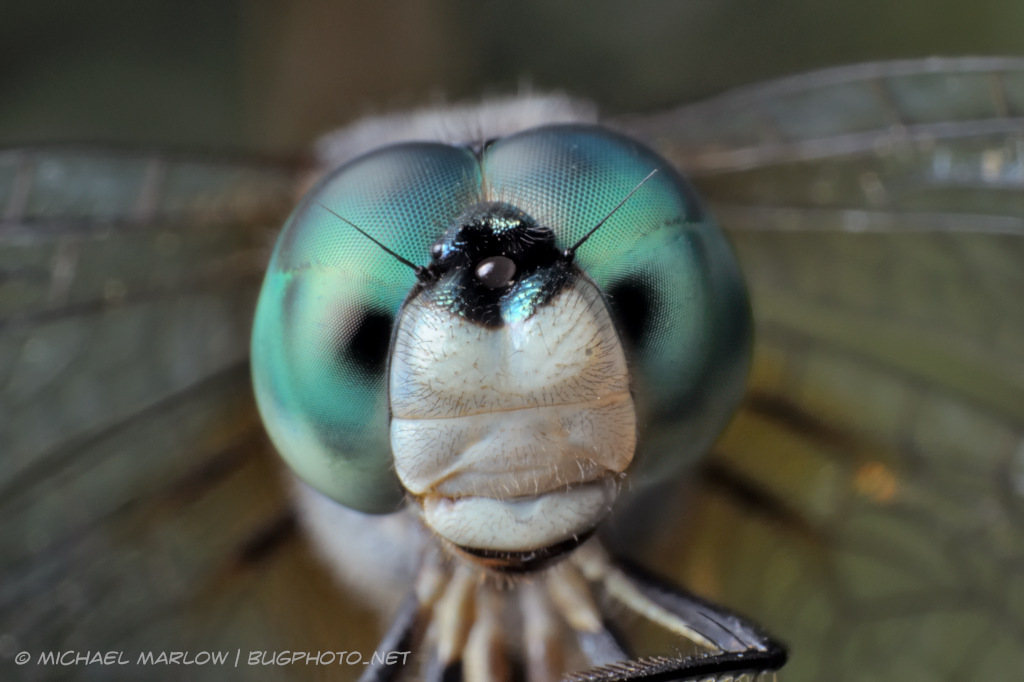 blue dasher dragonlfy portrait