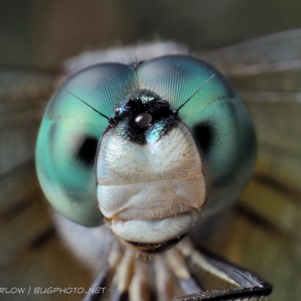 blue dasher dragonlfy portrait