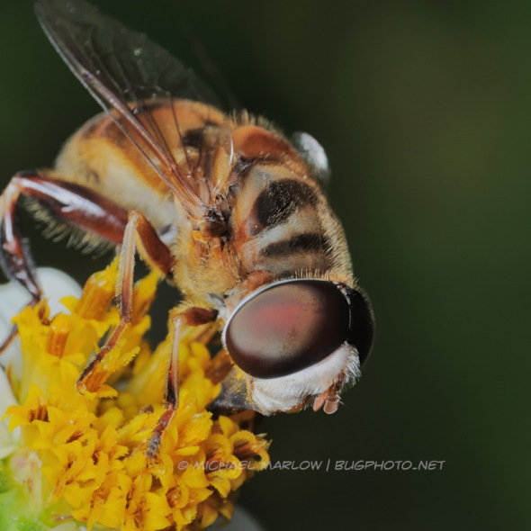 large honeybee fly mimic on a small scraggly yellow-centered flower