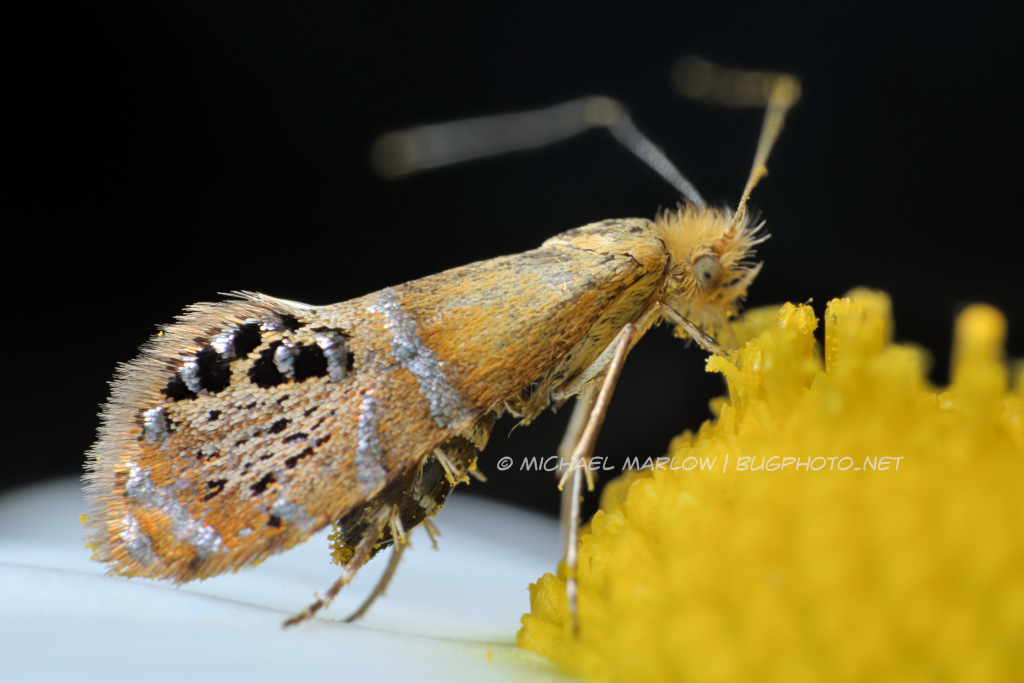 ridings' fairy moth feeding on a flower