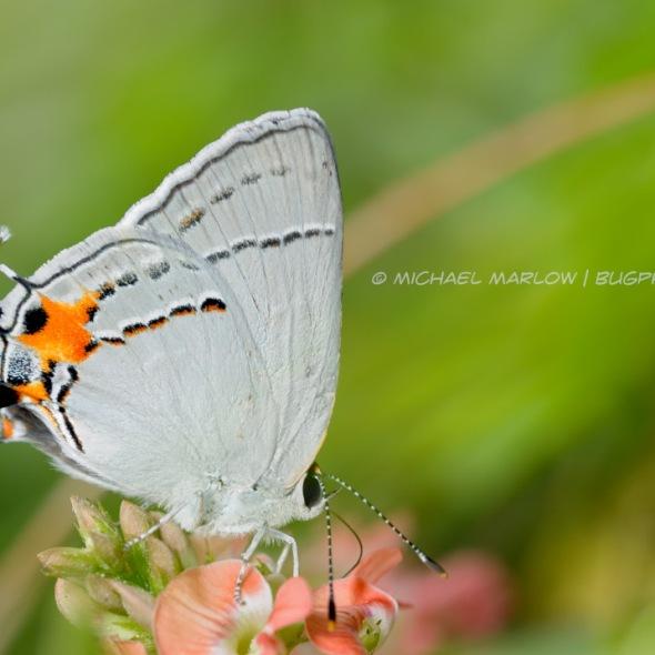 gray hairsteak butterfly feeding on a orange-pink flower