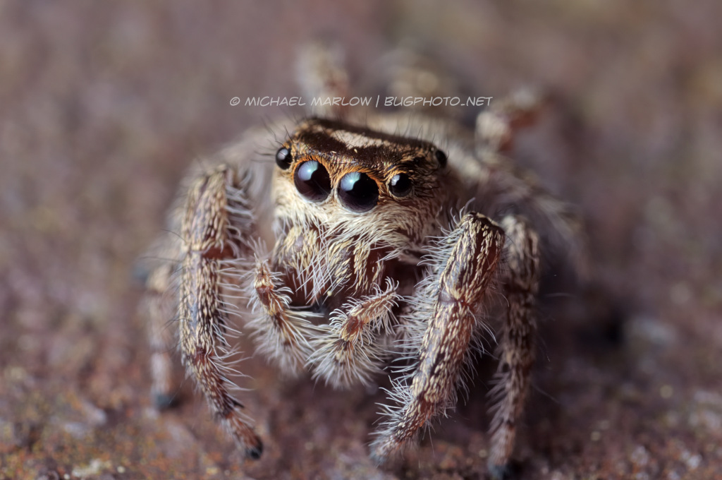 jumping spider portrait on iron