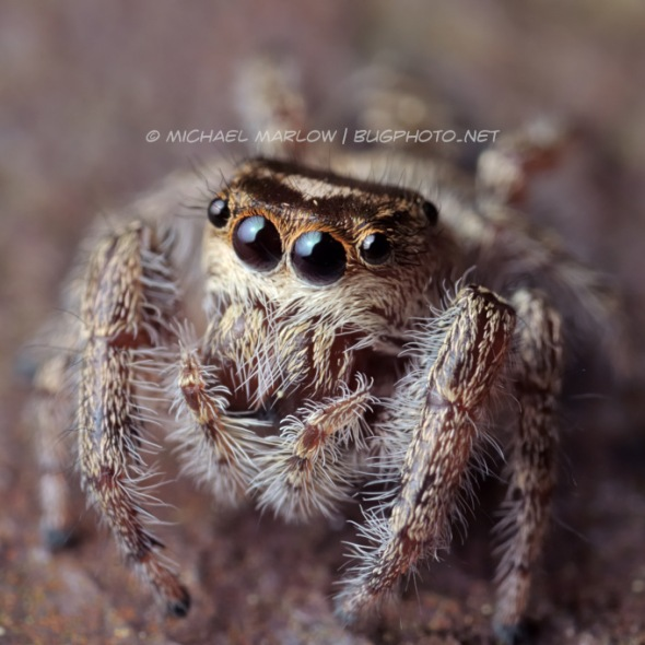 jumping spider portrait on iron