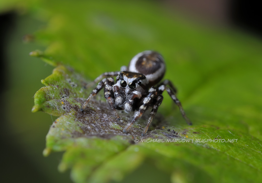 jumping spider in a crouch on a green leaf