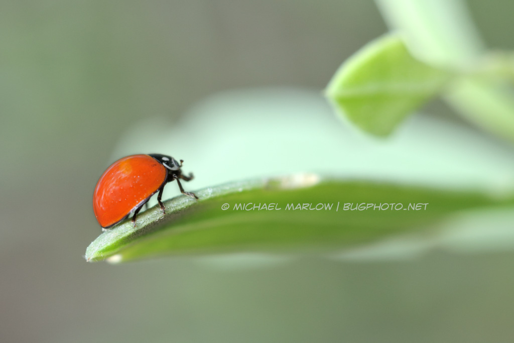 solid red-orange ladybug at the end of a leaf