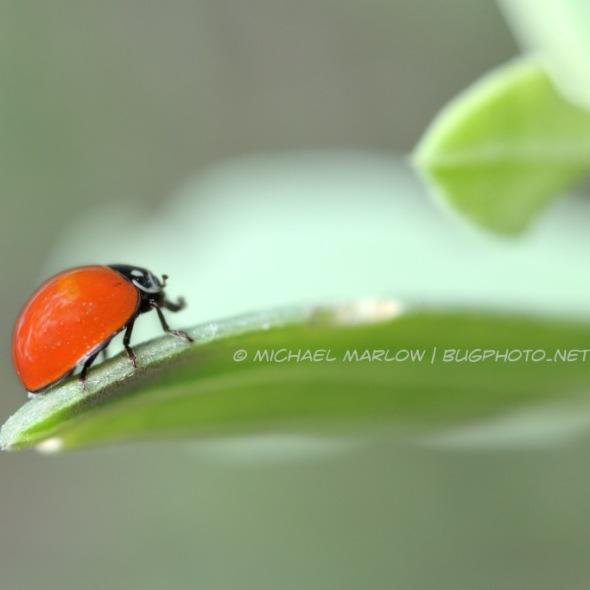 solid red-orange ladybug at the end of a leaf