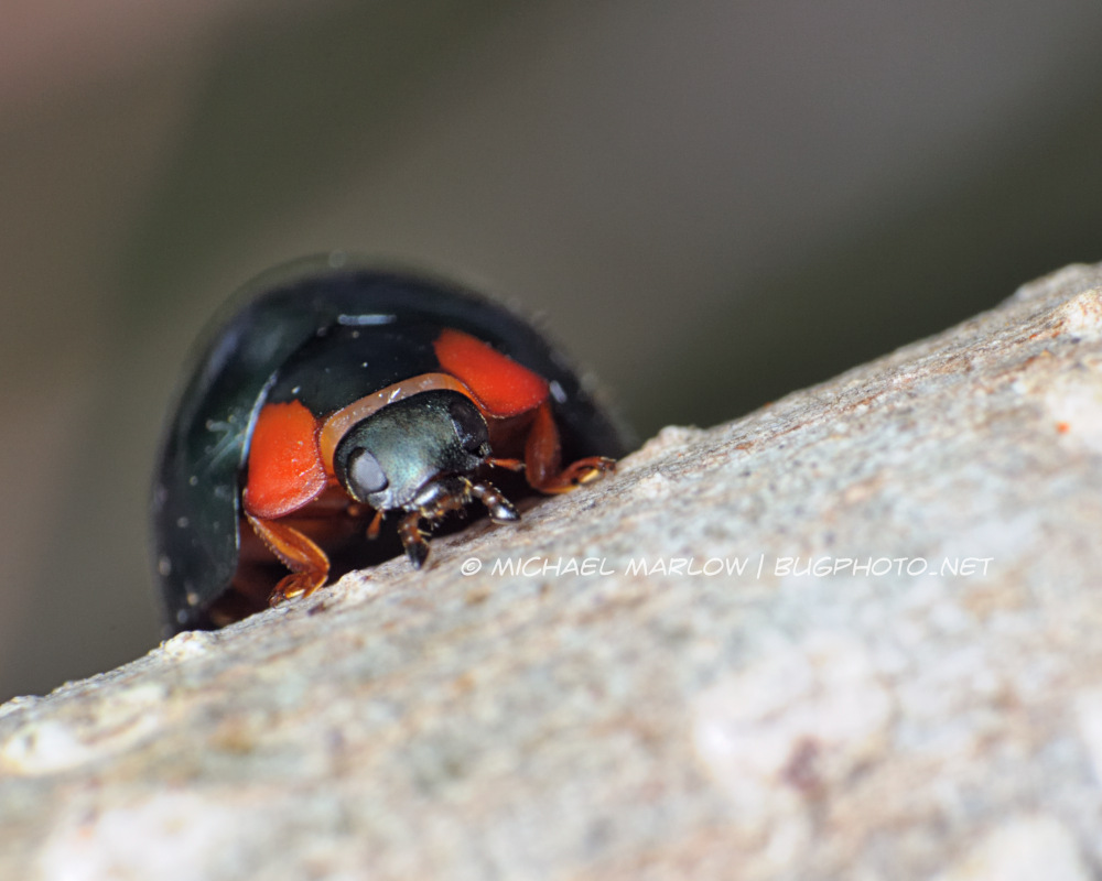 dark blue and red ladybird beetle looking the edge of a tree branch