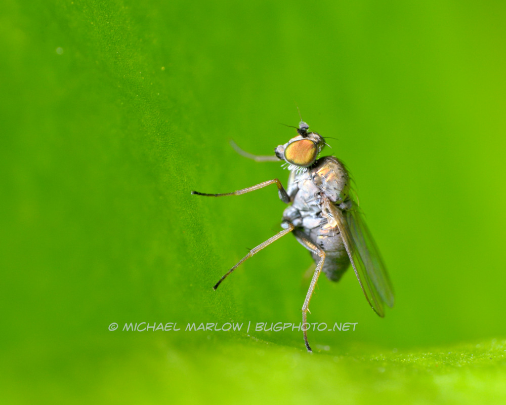 small fly with red-yellow eye standing on curl of a leaf