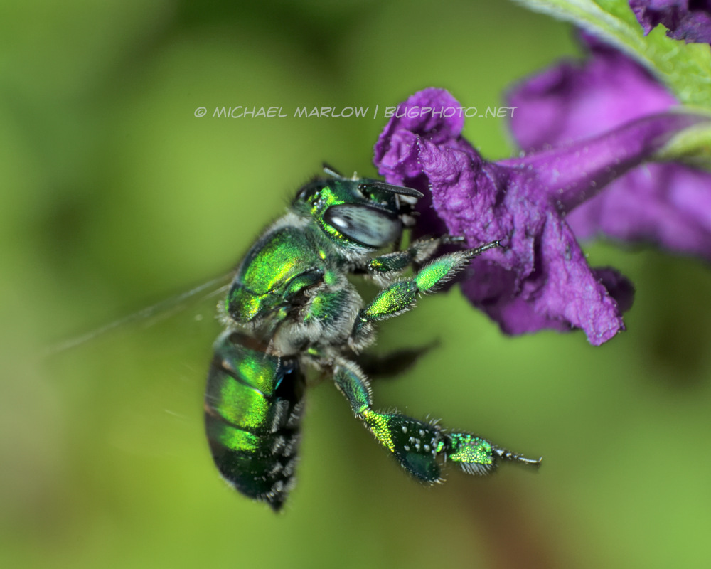 a metallic green bee hovers at the petals of a purple flower