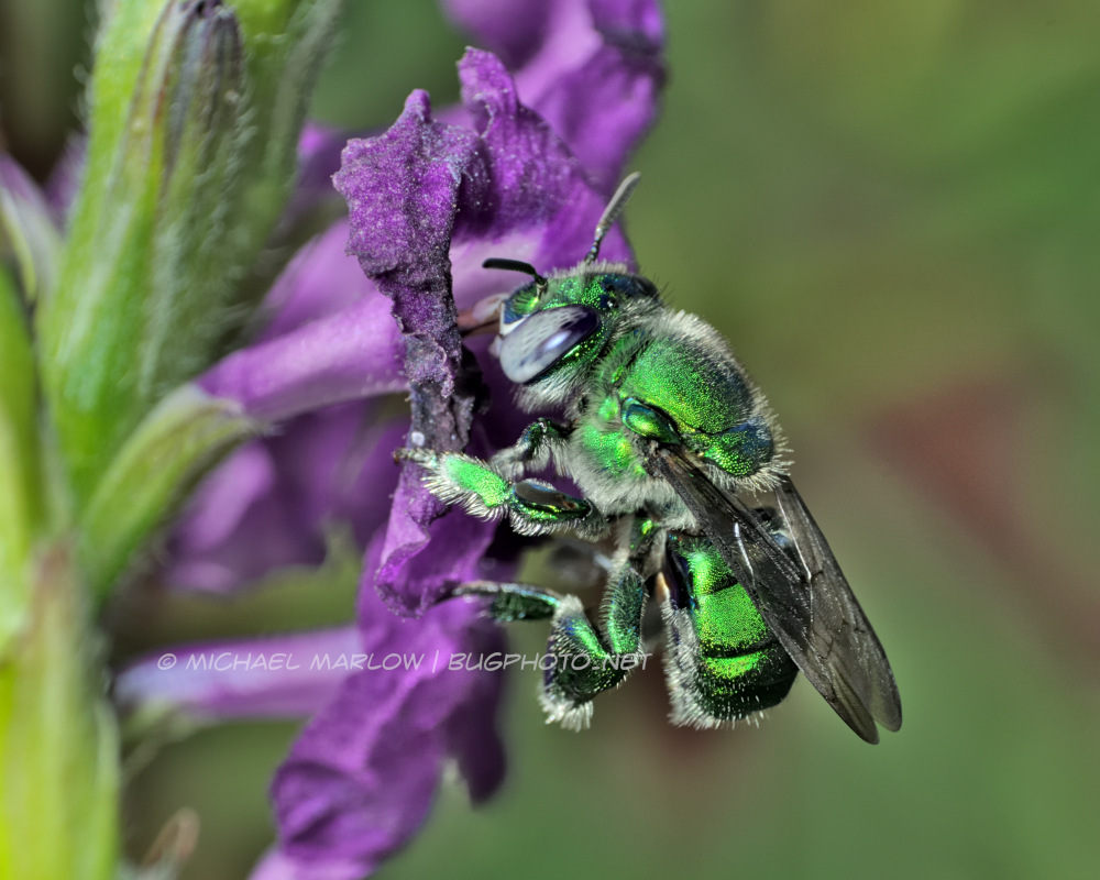 a metallic green bee hanging on a purple flower