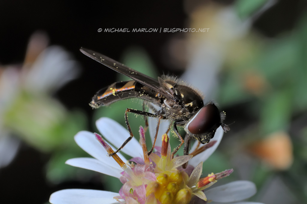 syrphid fly feeding on a white petaled flower