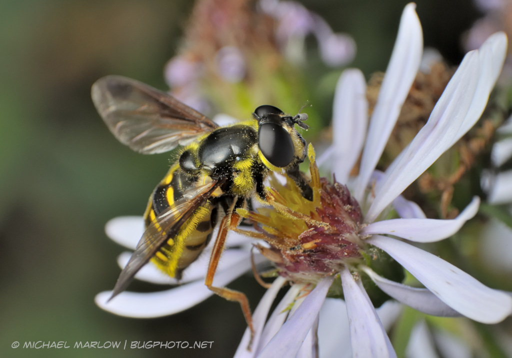 wasp mimic Syrphid fly on a white-petaled wild flower.