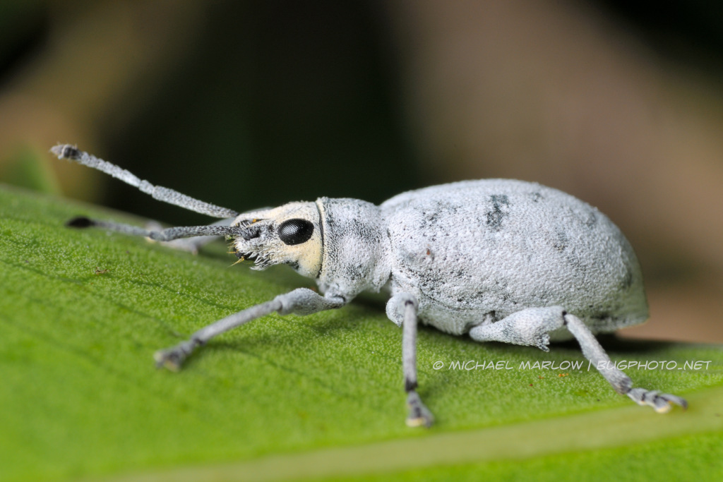 powdery white weevil with yellow-tinted head