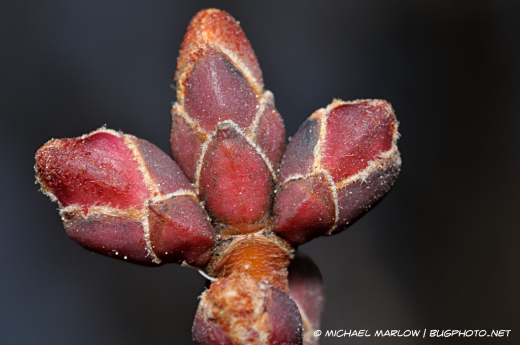 red tree buds with stark white lines
