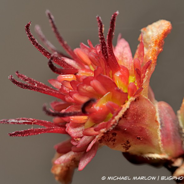 tree bud bursting with red stamens and anthers