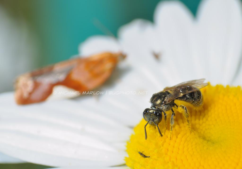 Copyright Michael Marlow | Bugphoto.net