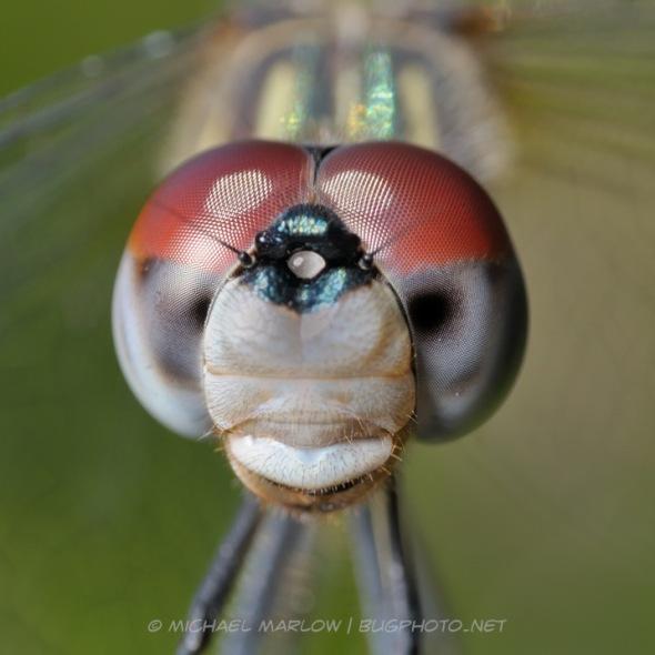 Copyright Michael Marlow Bugphoto.net